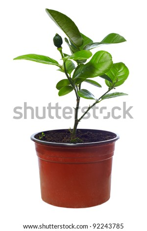 small potted citrus tree plant, isolated on white - stock photo