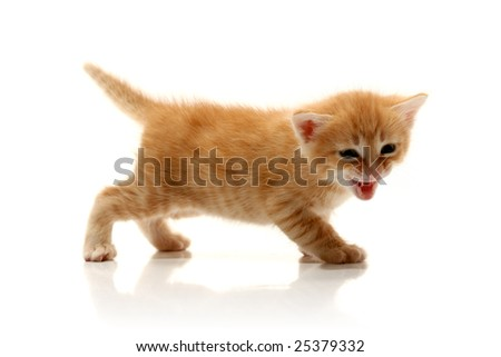 Small pretty kitten, isolated on white