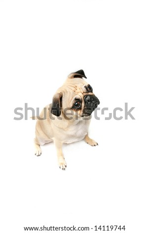 Small Pug isolated on white background with copyspace. - stock photo