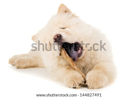Small puppy chow chow gnaws bone - stock photo