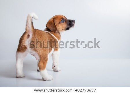 small puppy jack russell terrier