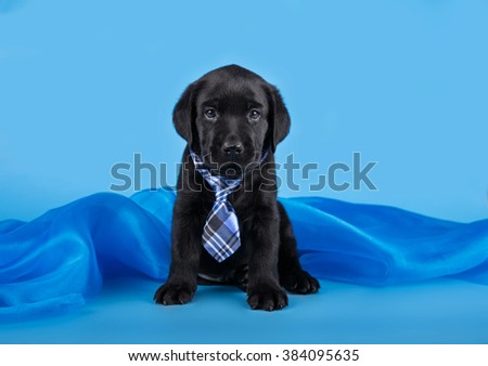 Small puppy of a Labrador retriever