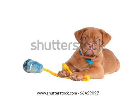 Small puppy of dogue de bordeaux and its toy on a rope - stock photo