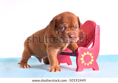 Small Puppy of Dogue De Bordeaux  breed standing in Red Valentine Bench isolated on white background