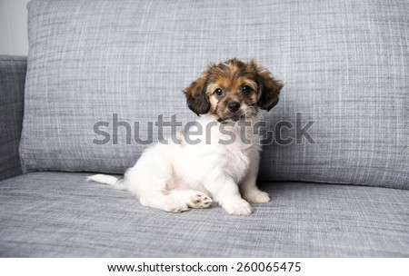 Small Puppy on Gray Sofa Playing  - stock photo