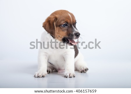 small puppy sit and yawn at white background