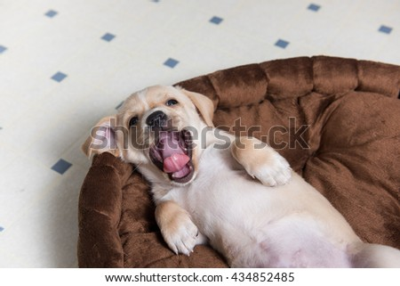 Small Puppy Yawning in Brown Plush Bed