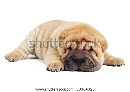 Small purebred Chinese sharpei puppy isolated over white - stock photo