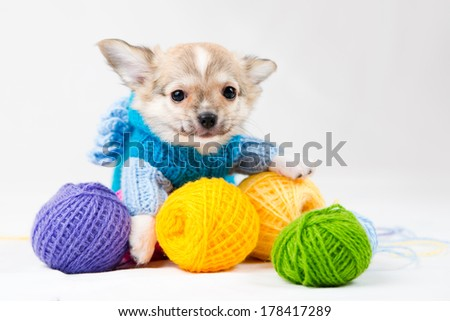 Small purebred puppy on  white background. - stock photo