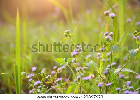 small purple flower in the morning, Thailand. - stock photo