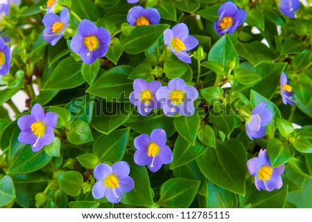 Flower background wallpaper yellow daffodil purple stock photo small purple flowers exacum tropical plant in a pot isolated on white background mightylinksfo Image collections