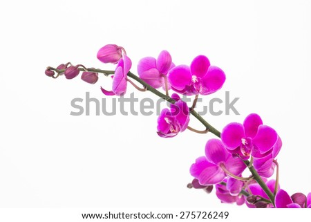 Small purple Moth orchids and buds close up over white background - stock photo