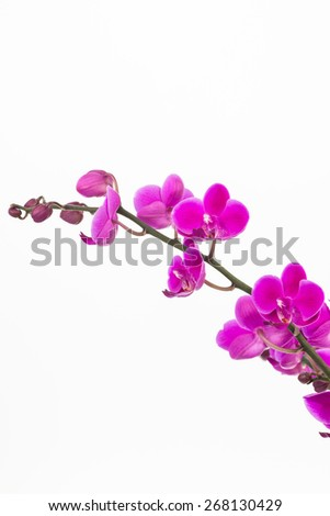 Small purple Moth Orchids close up over white background - stock photo