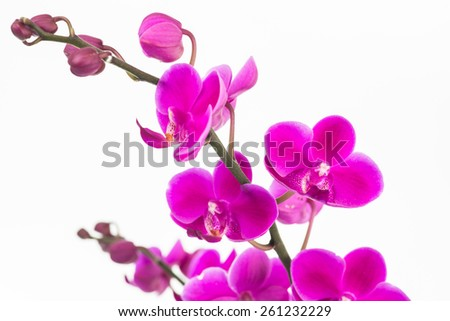 Small purple Moth orchids with buds close up over white background - stock photo