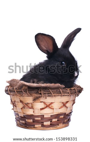 Small racy dwarf black bunny isolated on white background.