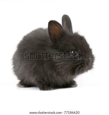 Small racy dwarf black bunny isolated on white background. studio photo. - stock photo