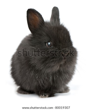 Small racy dwarf black bunny isolated on white background. studio photo. - stock photo