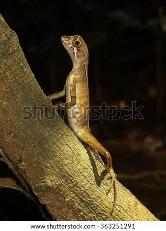 Small rainforest lizard, Sri Lanka - stock photo