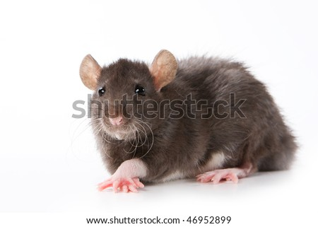 House Rat Stock Photos, Royalty-Free Images & Vectors - Shutterstock