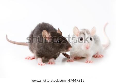 Small rat on white background - stock photo