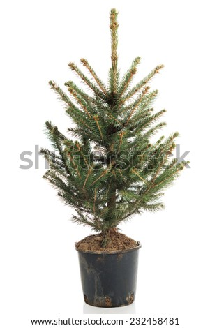 Small, real undecorated bare Christmas tree in a pot. - stock photo