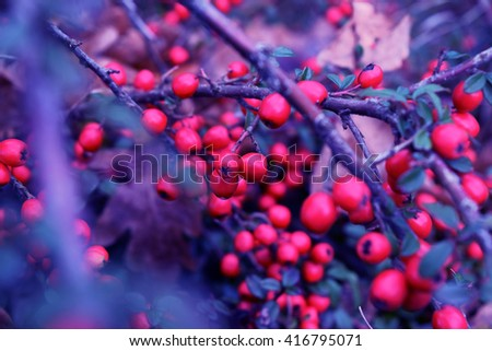 Small red berries on a green branch. Hipster blueness colors. Background for design