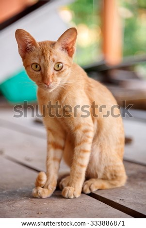 small red cat looking into the camera. Soft focus body and selective focus face