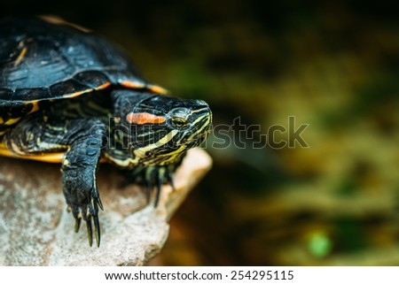 Small Red-ear Turtle, Pond Terrapin Sitting On Stone - stock photo