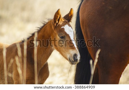 small red foal with a white blaze on her head walks next to his mother in a field