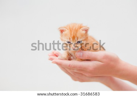 Small red kitten in human hands on white background