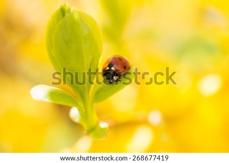 Small red ladybird on a green leaf on yellow background. Spring messenger, close-up blurred - stock photo