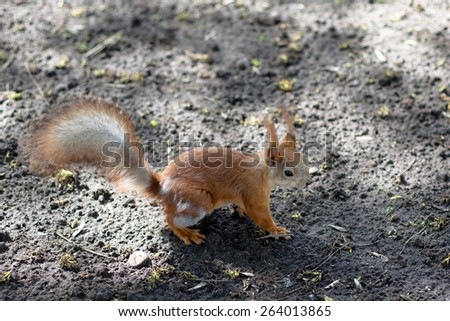 Small red squirrel on a grey ground