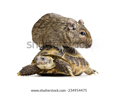 small rodent riding on turtle, full-size front view isolated on white background - stock photo