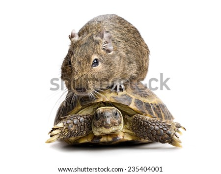 small rodent riding turtle, full-size front view isolated on white background - stock photo