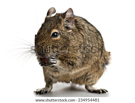 small rodent stands with food in paws full-size front view isolated on white background - stock photo