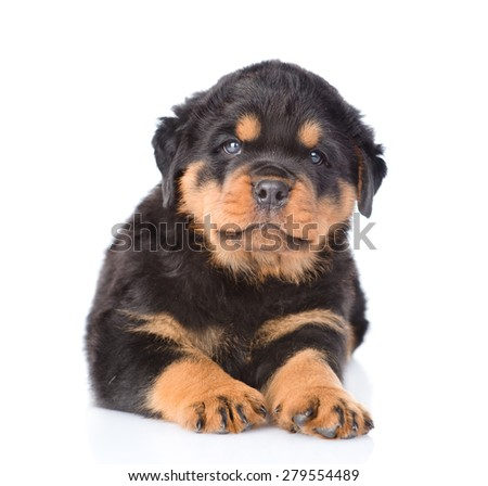 Small rottweiler puppy lying in front view. Isolated on white background - stock photo