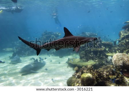 Small Scalloped Hammerhead Shark (Sphyrna lewini) swimming over coral reef, divers in background.
