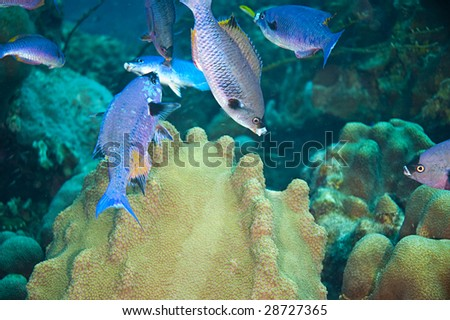 small school of blue juvenile creole wrasse and large coral formation