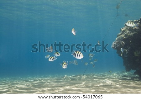 Small school of colorful tropical reef fish. Naama Bay, Sharm el Sheikh, Red Sea, Egypt. - stock photo