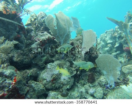 Small school of French grunt in front of a coral head with sea fans on top