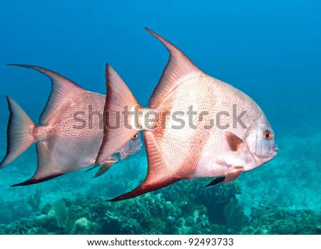 Small school of large silvery Spadefish, so called because their body is shaped liked a spade.