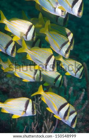 Small school of pork fish swimming - stock photo