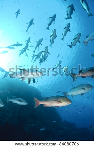 Small school of tropical Twinspot snapper, blue background. Shark reef, Ras Mohamed national Park, Red Sea, Egypt.