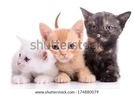 small Scottish kittens isolated on white background - stock photo