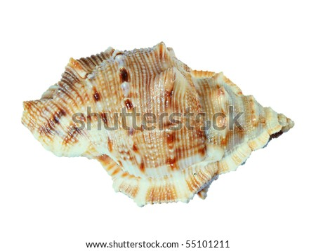 small sea shell isolated on white background