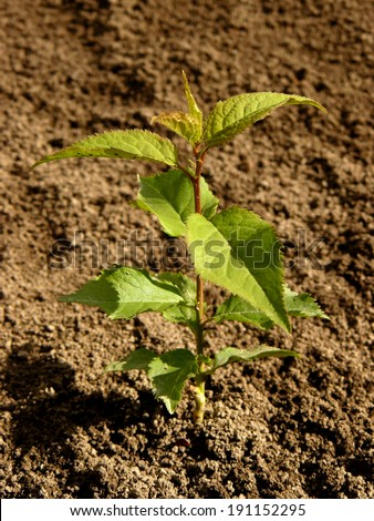small seedling of apricot tree  - stock photo