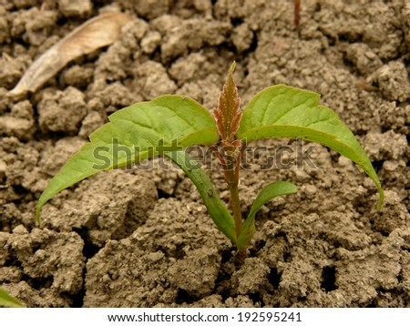 small seedling of ash-leaved maple - stock photo