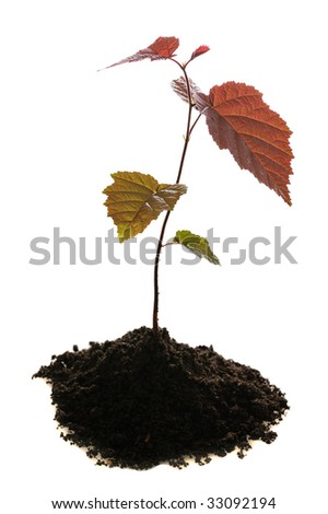 small seedling of nutwood in soil isolated on white background - stock photo