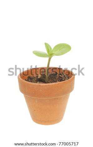 Small seedling plant in a terracotta pot isolated against white
