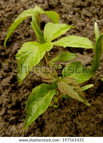 small seedlings of ash-leaved maple - stock photo